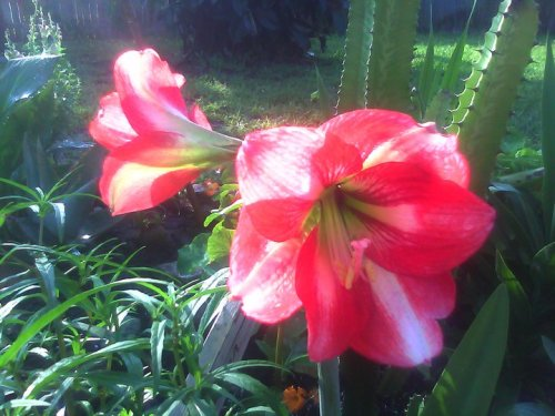 amaryllis red stripe 2011