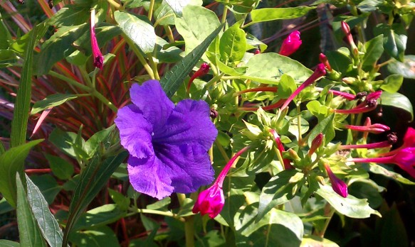 Mexican Petunia and Mirabilis