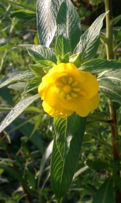 Yellow Primrose Willow