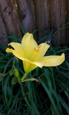 Yellow Bok Garden Lily