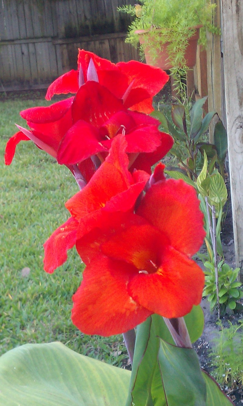 Red Canna Double Stalk Bloom