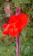 Red Canna Lily