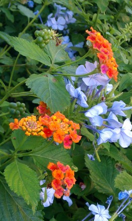 Butterfly Bush w/ Plumbago
