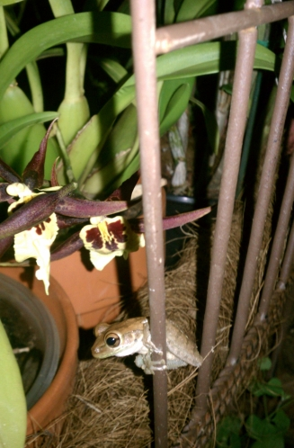 Brassia Maculata and Frog