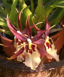 Brassia Maculata Orchid