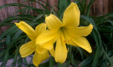 Bok Garden Lilly