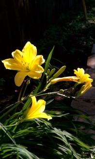 Bok Garden Lilies
