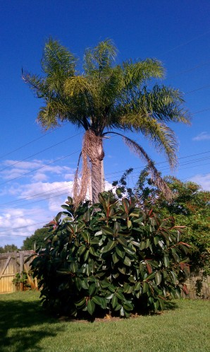 Rubber Tree in front of Palm Tree