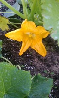Crookneck Squash Blossom