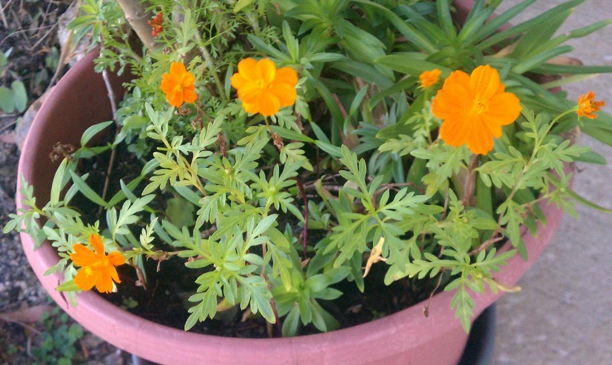 Orange/Yellow Cosmos