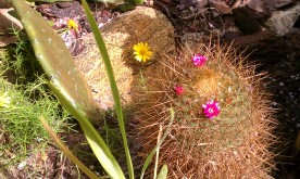 Pincushion Cactus with Yellow Aster