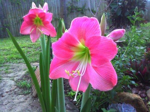Pink amarylllis 2011