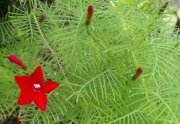 Red Cypress Vine