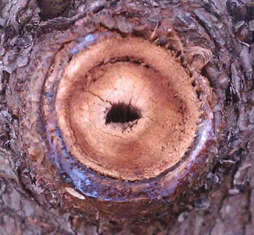 Rubber Plant Tree Ring