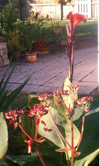 Red Canna w/ Mexican Donkey Ears in Foreground