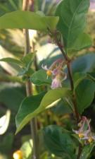 Solanum Diphylum in Bloom