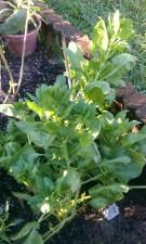 Ripe Spinach