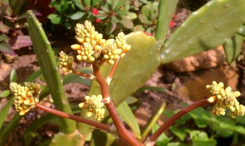 Agave Guiengula Flower Spike