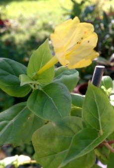 Yellow Mirabilis