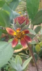 Ginger Sunflower (multi branch cultivar)