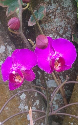Purple Phal 2/18/11