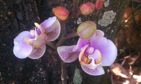 Purple Speckled Phalaenopsis