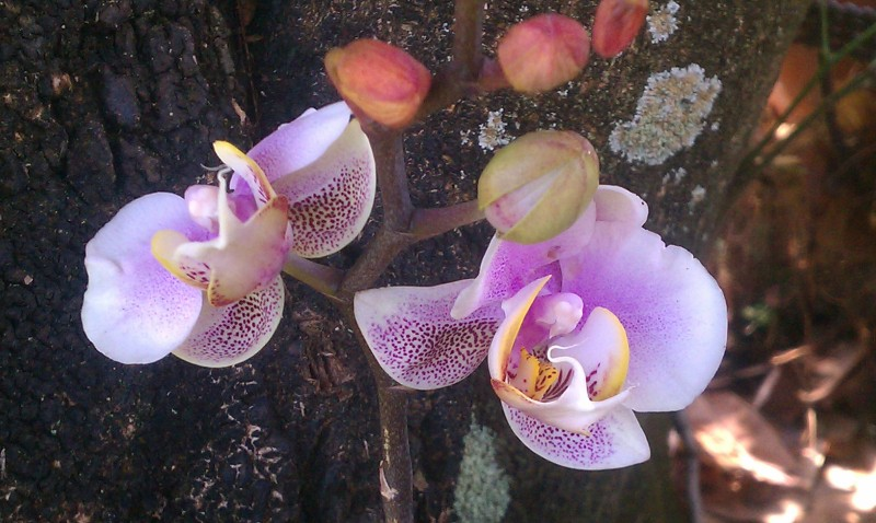 Purple Speckled Phalaenopsis