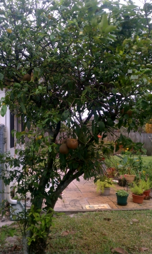 HoneyBell Citrus Tree