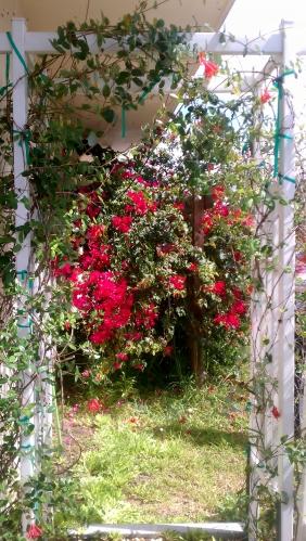 Cracker Roses