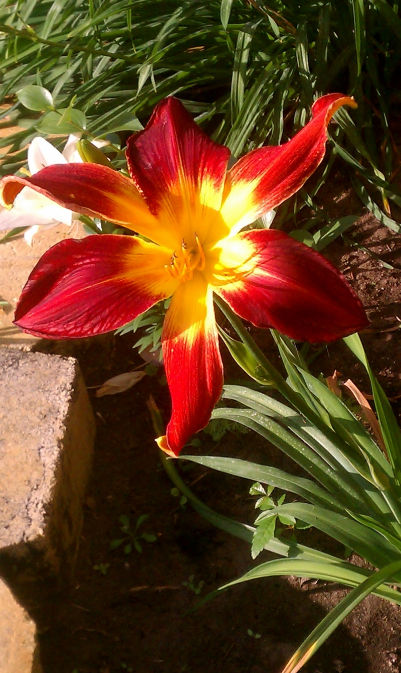 Ruby Spider Lily