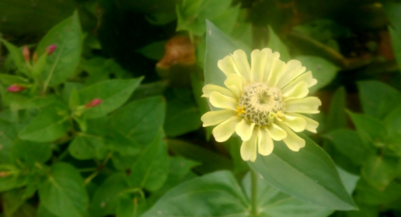 Zinnia with Mirabilis in rear