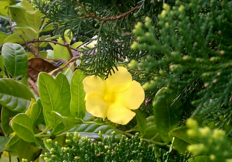 Yellow Alamanda peeking through Oriental Arborvitae
