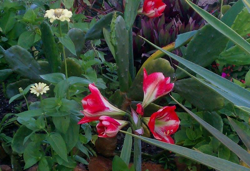 Amaryllis in the Ranchero
