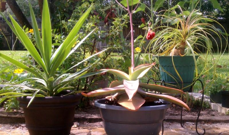 Yucca,  Agave, Ponytail Palm