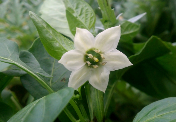 Green Bell Pepper Blossom