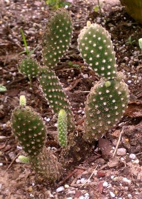 Naxos Opuntia