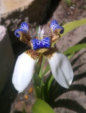 Neomarica Apostles' Flower