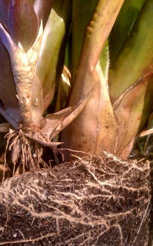 Overcrowded Bromeliads