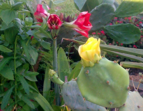 Prickly Pear and Amaryllis