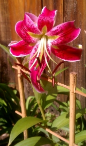 Lily Scarlet Delight