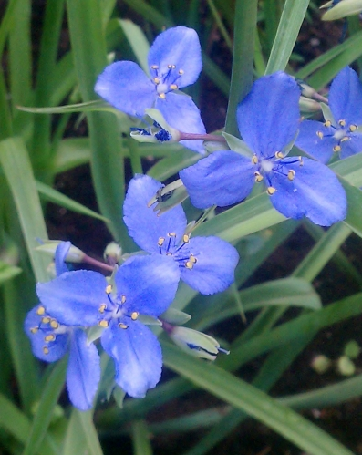 Open Spiderwort Flowers