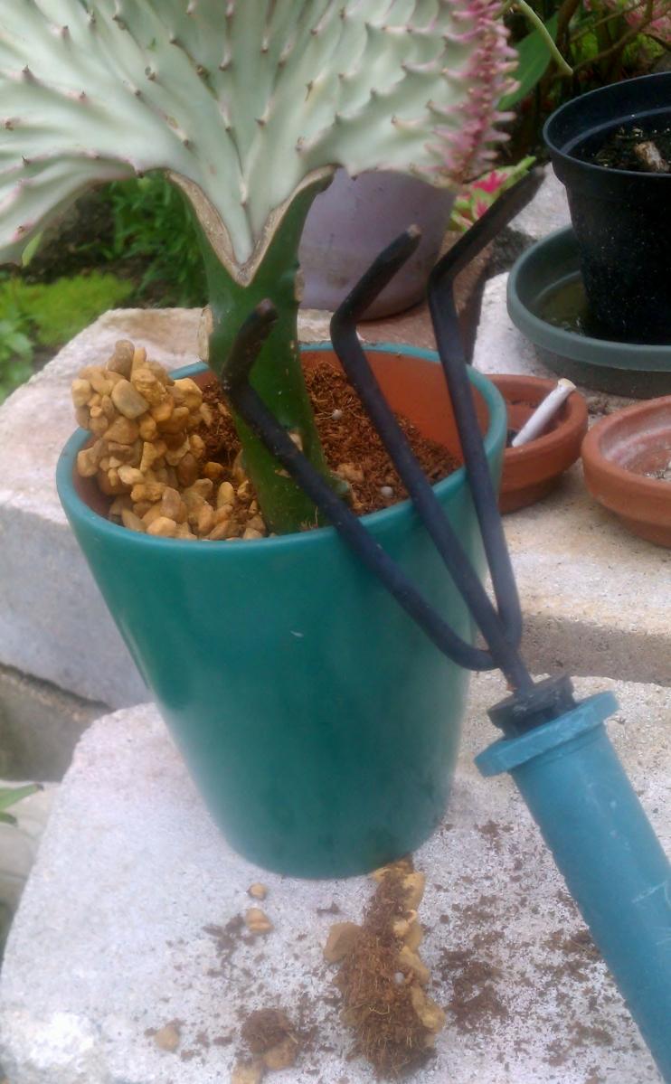 Euphorbia Lactea Cristata with glued rocks