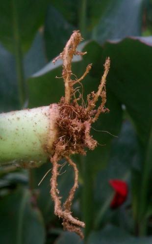 Euphorbia Lactea Cristate Roots