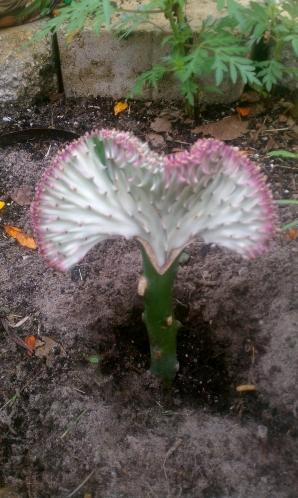 Replanting Euphorbia Lactea Cristata