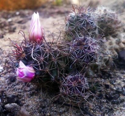 Mammillaria Sheldonii with buds
