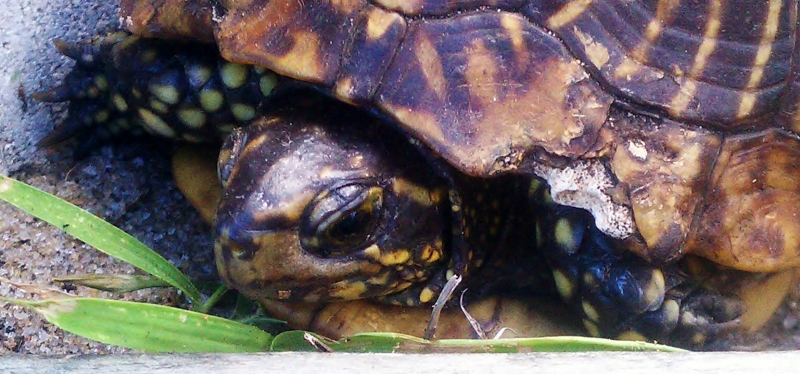 Florida Box Turtle head and hands