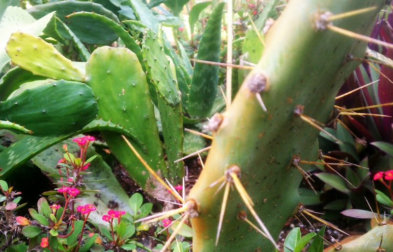 Spineless Opuntia (rear) Eastern Prickly Pear (foreground)