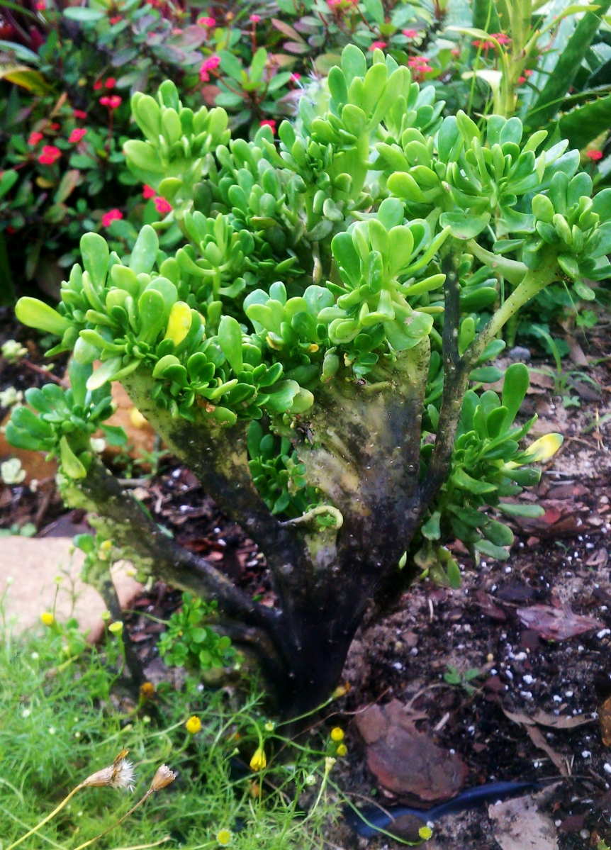 Echeveria glauca ssp. pumila f. cristata
