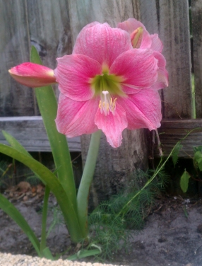 Last Amaryllis of the Season, 5/14/12