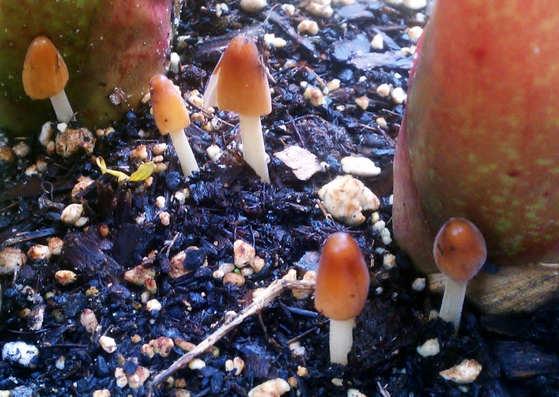 Teeny tiny mushrooms at 3:15pm., 06/01/12